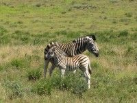 Newsletters : Clarens News Young Zebra growing up