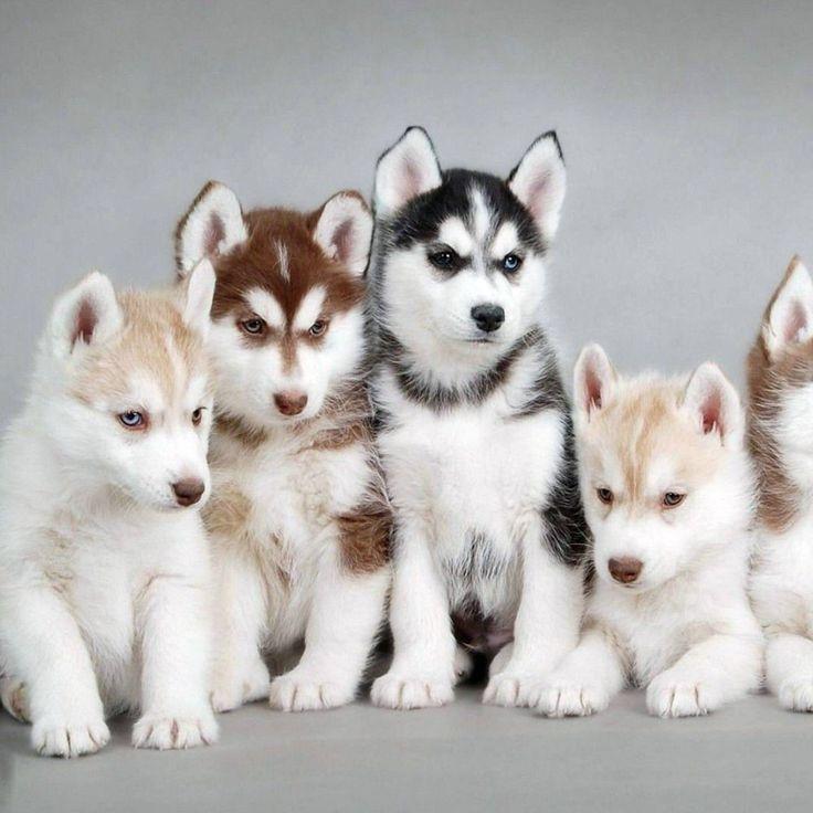Beautiful Husky Family Puppies Cute Dogs Siberian Husky Puppies