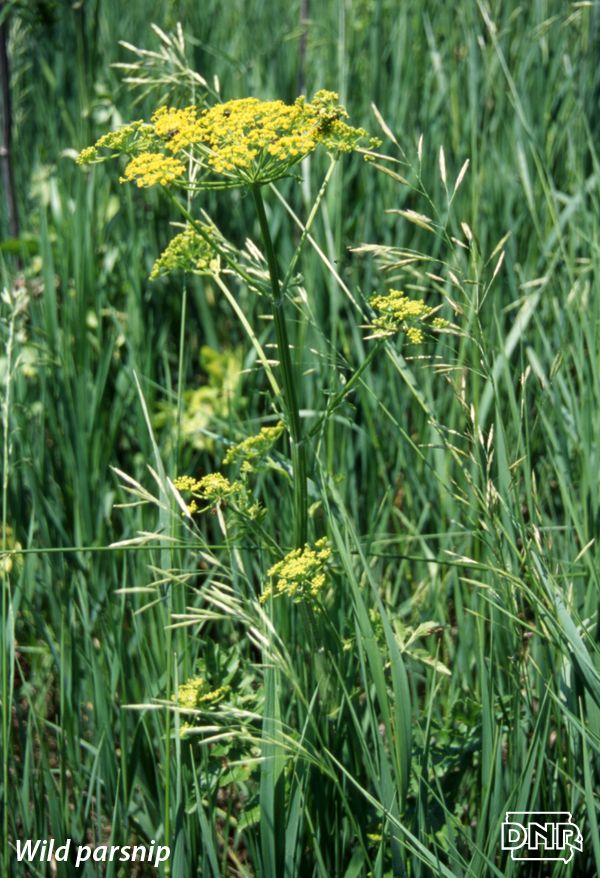 Identifying wild parsnip and other poisonous Iowa plants from the Iowa DNR