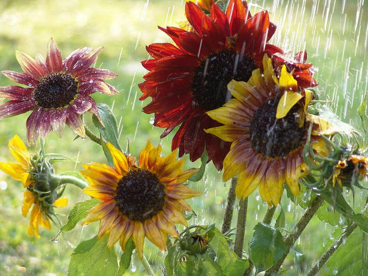 38 best images about I love sunshowers on Pinterest  Sun, Rain and Umbrellas # Sunshower Art_040753