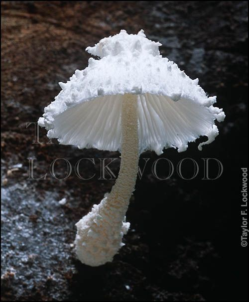 Leucocoprinus cretaceus - fanciful mushroom. What a God, to put such fine detail into a simple mushroom!!