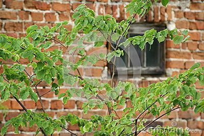 Fresh leafs on red brick wall with window