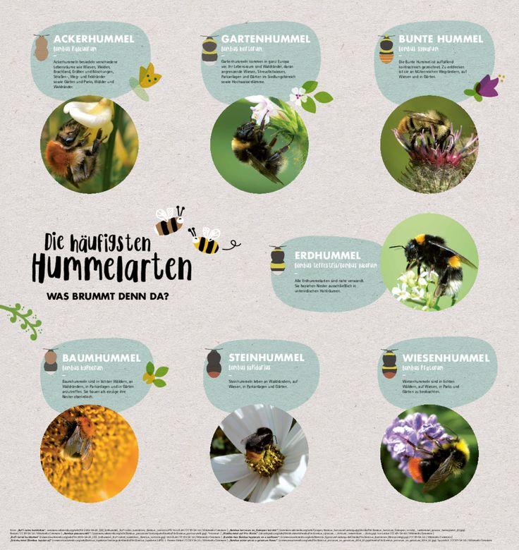 Die häufigsten Hummelarten – Was brummt denn da? - Bund für Umwelt und Naturschutz Deutschland (BUND)