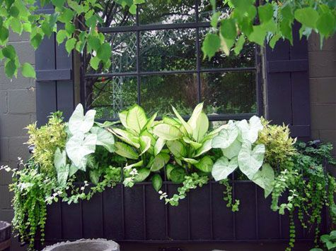 Window boxes are not just for sunny locations.  The caladiums, dieffenbachia, and yellow coleus in this box light up a very shady spot.  The trailing licorice is surprisingly tolerant of shade.�