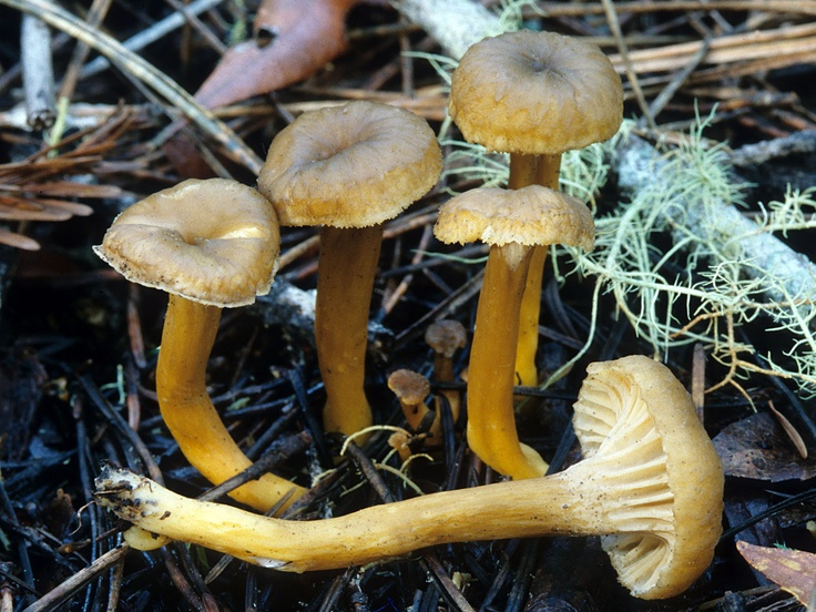 1000+ images about Wild Edible Mushrooms that I've ...