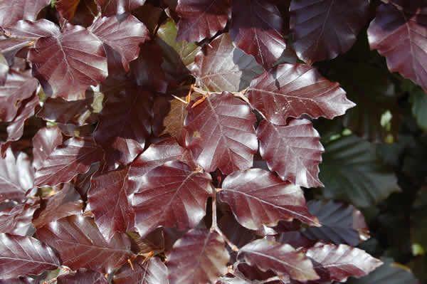 Fagus sylvatica purpuruem - Purple Beech Copper Beech Tree Blerick Trees Buy Online Trees Advanced Trees, Screening Plants, Fruit Trees