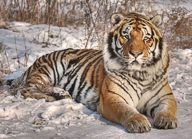 The Siberian Tiger is the largest cat in the world. 100 years ago, there were nine tiger subspecies. Now there are six. All tigers are highly endangered, with a total population across all subspecies estimated under 3,800.