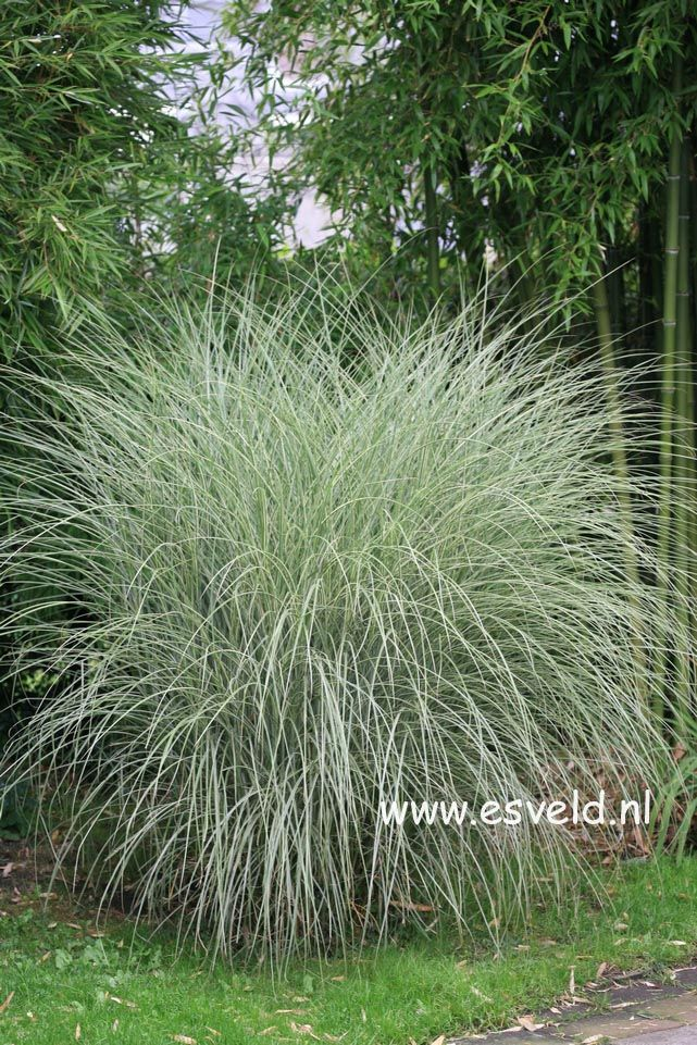 Miscanthus sinensis 'Morning Light'.  This is by far the most used sun grass by landscapers.  Such a silver glow.  6'h X 5'w