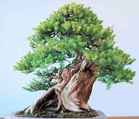 743 besten bonsai bilder auf pinterest bonsai pflanzen und g rtnern. Black Bedroom Furniture Sets. Home Design Ideas