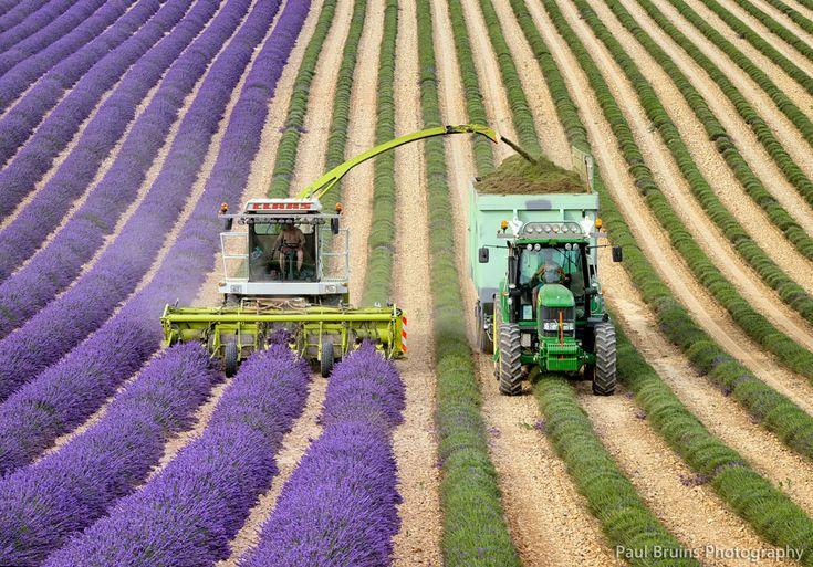 Lavender Harvest | Flickr - Photo Sharing!