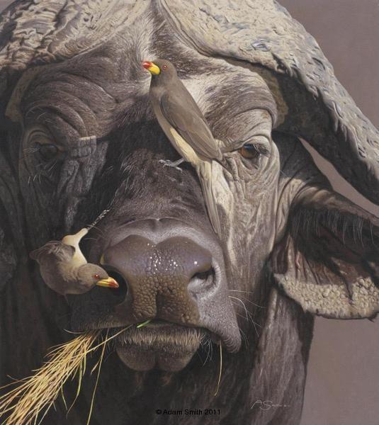 Cape buffalo by Adam Smith