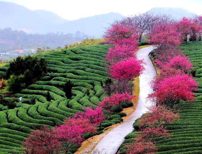 Yongfu China Cherry Blossoms At A Tea Garden On Jan 31 In Yongfu Township Of Zhangping City Southeast C Most Romantic Places Breathtaking Views Landscape