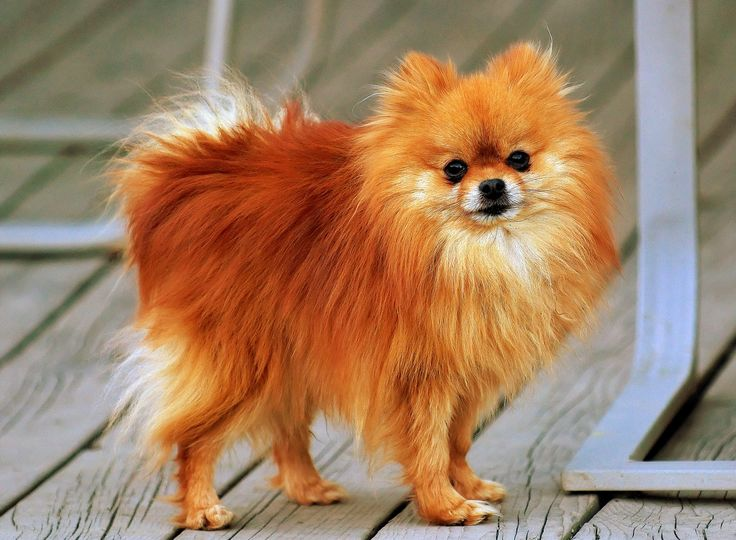 Red Pomeranian | precious stuff | Pinterest