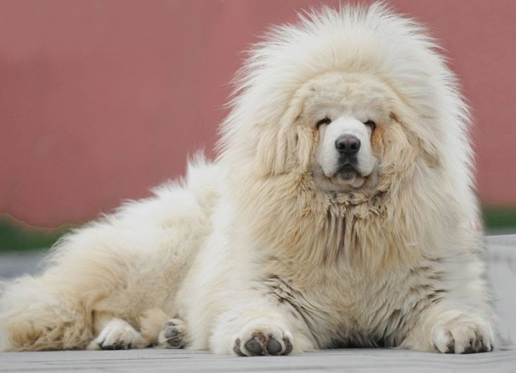 "massive dog breeds***Tibetan Mastiff  Males can reach heights up to 83 cm (33""). Dogs bred in the West weigh between 45-68 kg (100-160 pounds) al..."