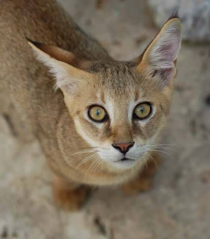 chausie cats | Chausie. Chausie, Chausie Cat, Chausie Information and Photographs.