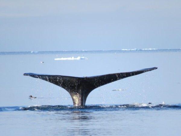 La vie cachée de l'Arctique. Une baleine boréale plonge à la recherche de krill. © Clive Tesar / WWF