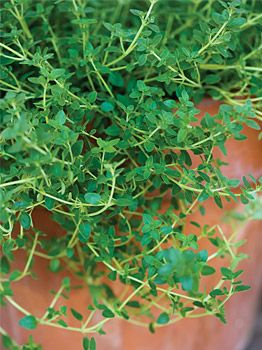 Growing Thyme Plant Indoors: How to Grow Thyme Herb
