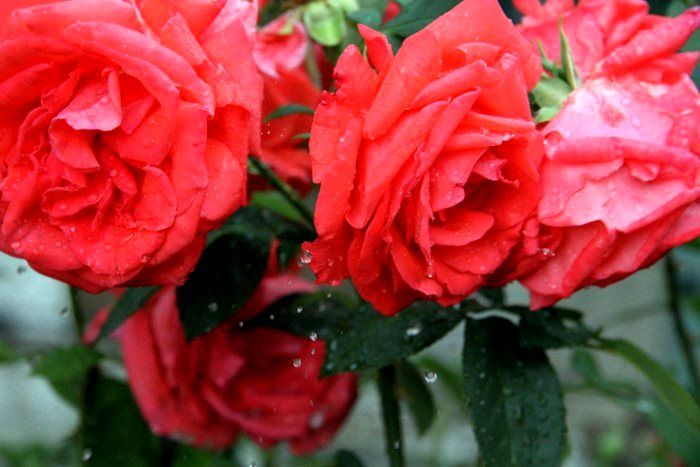 Red rose is a soul of passionate woman.