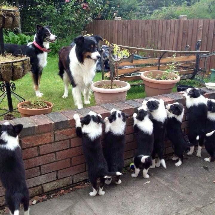 "Can everyone say ""Awwwwww!! I see Border Collies!"