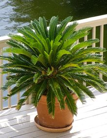 Cold Hardy Sago Palm - I just bought a baby one! So beautiful, only problem is highly highly highly toxic to cat and dogs. I can't bring it inside :(
