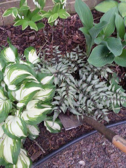 dividing japanese ferns athyrium niponicum var pictum, flowers, gardening, landscape