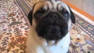 Max the Silent Barking Pug - YouTube