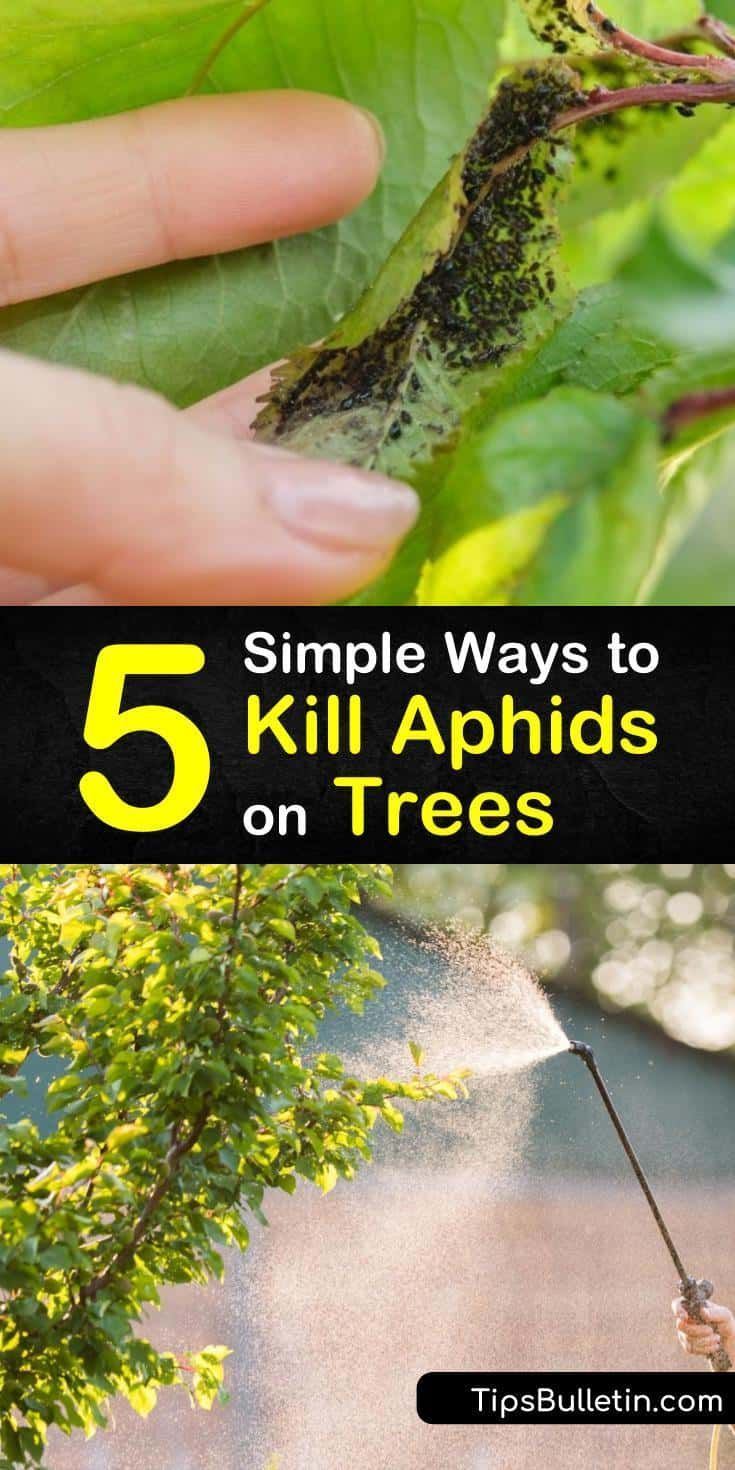 how to treat aphids on trees