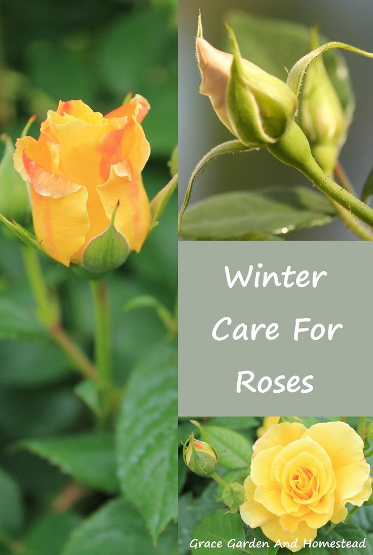 If you've got wind, snow, or cold weather in the winter, you need to protect your beautiful roses from the harsh conditions. Here's the how-to from potted to planted roses.