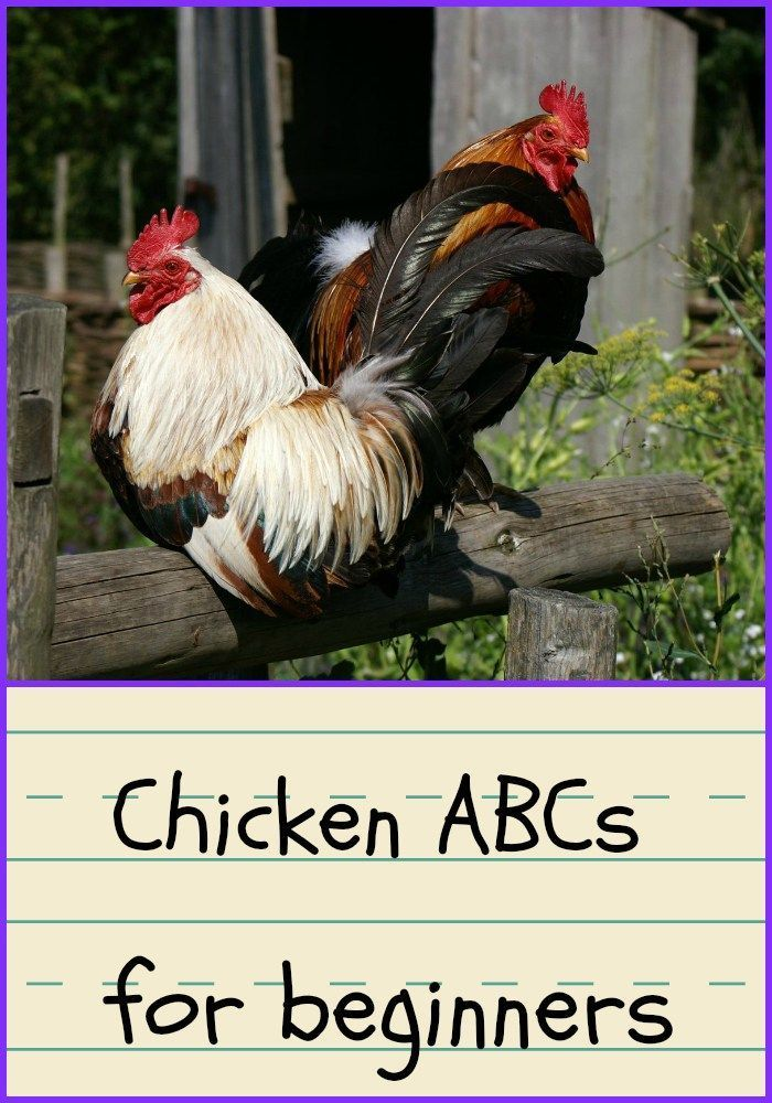 Chicken Terms for Beginners