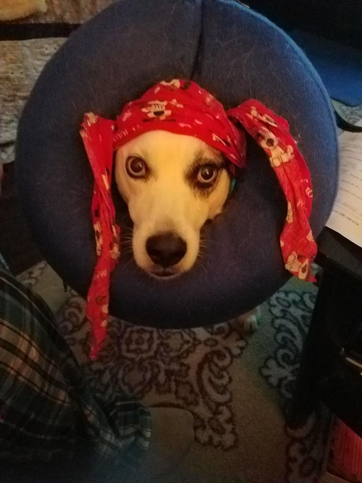 """Aaaarrrrf"". The dog had some minor surgery to have some fatty tumors removed from his legs. We use an inflatable e-collar and tie it to his collar with a neckerchief. When we tried to put it back on him he inadvertently became a pirate. http://ift.tt/2oxWtdl"