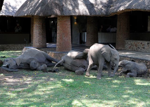 Drunk elephants doze off after eating too many ripe fruits at Mfuwe Safari Lodge, Zambia by The Bushcamp Company. In the remote south of Zambia's iconic South Luangwa National Park, the Bushcamp Company operates six exclusive safari camps and Mfuwe Lodge. You will be guaranteed unrivalled wildlife in the park where the African walking safari was pioneered. Website Here's funny elephant ideo from them.....