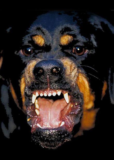 Rottweiler Print Givenchy Riccardo Tisci Rottweiler Pinterest