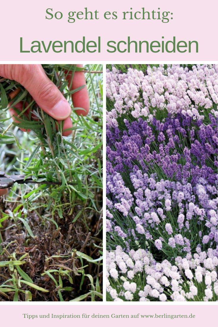 Lavendel Schneiden So Geht Es Richtig Tipps Vom Profigartner Garten Lavendel Lavendel Schneiden Lavendel