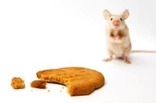 Are the mice winning the battle for your home? Do the mice keep coming back? Mouse exterminator tips the professionals use to get rid of mice.