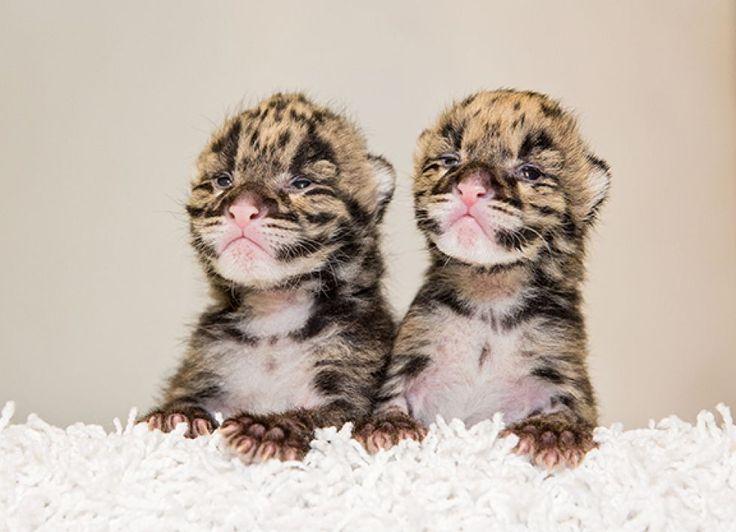 Doi leoparzi s-au nascut în luna martie la Gradina Zoologică Nashville