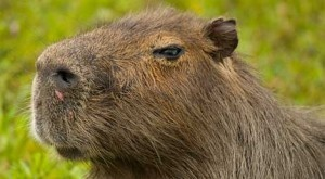 El carpincho o capibara (Hydrochoerus hydrochaeris), de un metro treinta de longitud y hasta 85 kilos de peso, es la especie viviente más grande entre los roedores. Su pariente la capibara gigante (Protohydrochoerus) del Plioceno, hace entre 4 y 2,5 millones de años, alcanzaba el tamaño de un tapir, con dos metros de longitud y unos trescientos kilos de peso. + info: http://www.ecoapuntes.com.ar/2012/03/los-roedores-gigantes-de-sudamerica/
