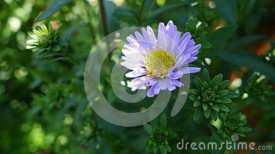 Purple Daisy on green background