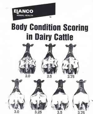 Charts for Welfare Assessment of Holstein Dairy Cows for Body Condition, Lameness, Cow Cleanliness, and Hock Injuries