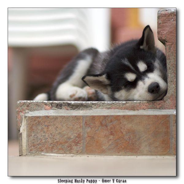 Sleeping Husky Puppy by jevigar @ deviantART