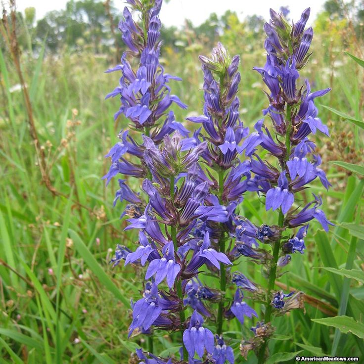 136 best images about wv native plants for butterflies not deer on pinterest