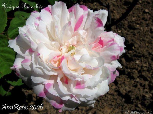 """Résultat de recherche d'images pour """"rose unique panaché"""""""