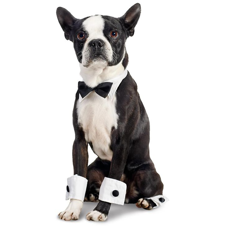 just handsome --- Boston Terrier  Bow Tie Set Halloween Dog Costume