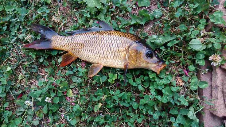 Первая рыбка выращенная  своими руками!