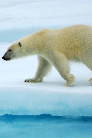 animals, arctic, polar bears
