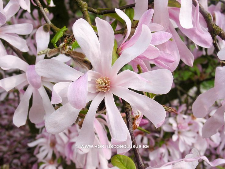 141 besten magnolien bilder auf pinterest magnolien pflanze und blassrosa. Black Bedroom Furniture Sets. Home Design Ideas