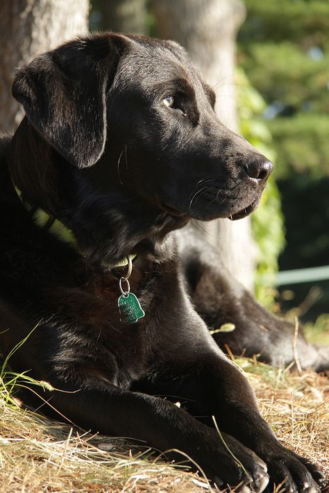 Socrates, a black labrador retriever. What a handsome boy.