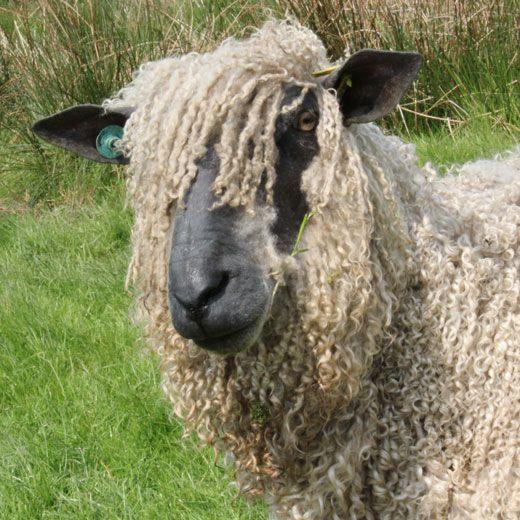 Wensleydale Sheep (Ewe) #animals / Black Horses Ltd