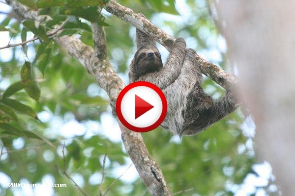 Does A Sloth Sink Or Swim? Video #animals, #videos, https://facebook.com/apps/application.php?id=106186096099420
