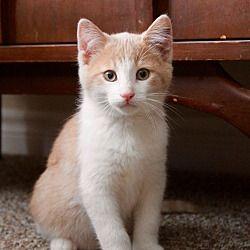 Woodstock, Ontario - Domestic Shorthair. Meet Milo, a for adoption. https://www.adoptapet.com/pet/20241110-woodstock-ontario-cat
