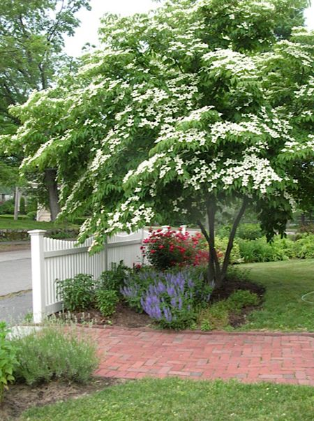 Love the fence...bet it looks the same on both sides. What a beautiful dogwood tree!